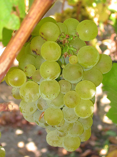 Sauvignon_blanc_grapes
